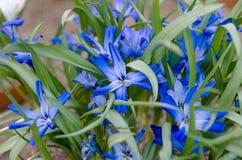 Tecophilea Cyancrocus imagem de stock