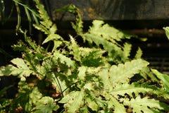 Tectaria moorei Royalty Free Stock Image