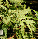 Tectaria moorei. A fern from New Caledonia with with pinnately lobed pinnae with stalked sori along margin Stock Photos