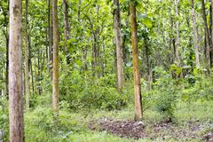 Tectona grandis Teak is a kind of high-quality wood production. Large trees, straight trunked, can grow to 30-40 m tall. Big leaf,. Teak is a kind of high royalty free stock images