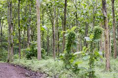 Tectona grandis Teak is a kind of high-quality wood production. Large trees, straight trunked, can grow to 30-40 m tall. Big leaf,. Teak is a kind of high royalty free stock photos