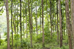 Tectona grandis Teak is a kind of high-quality wood production. Large trees, straight trunked, can grow to 30-40 m tall. Big leaf,. Teak is a kind of high stock photography