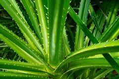 Tectorius Pandanus, δέντρο odoratissimus Pandanus με το φυσικό φως του ήλιου το πρωί Βοτανική χρήση για διουρητικό στοκ εικόνες