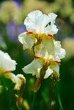 Tectorum blanc d'iris Images libres de droits