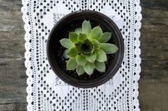 Tectorum blanco del sempervivum del ama de casa de la pizca del mantel del ganchillo Imagen de archivo