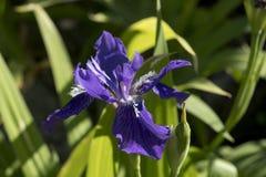 Tectorum d'iris Photos libres de droits