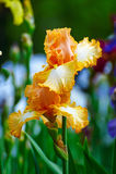 Tectorum d'iris jaune Photo stock