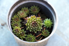 Tectorum de Sempervivum Photographie stock libre de droits