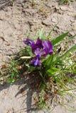 Tectorum púrpura del iris en suelo seco desde arriba Fotos de archivo libres de regalías