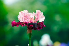 Tectorum pourpre d'iris Photo stock