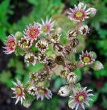 Tectorum Sempervivum μακρο πολλοί στοκ εικόνες