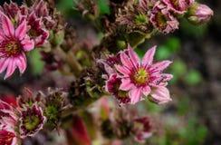 Tectorum Sempervivum ρόδινο πολύ στοκ φωτογραφίες με δικαίωμα ελεύθερης χρήσης