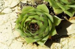 Tectorum succulente di Sempervivum in natura selvaggia, sulla pietra bagnata immagini stock libere da diritti