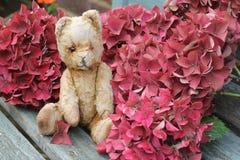 Ted Among Hydrangea Stock Photography