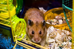 Teddy. My sons hamster in it,s cage Stock Image