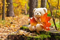 Teddy bear in autumn park. Teddy bear with red maple leaves in autumn park Royalty Free Stock Photo