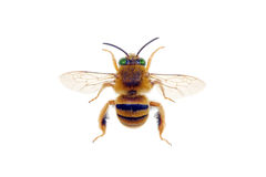 Teddy Bear Bee Stock Images