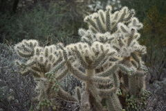 Teddy bear cactus Royalty Free Stock Photography