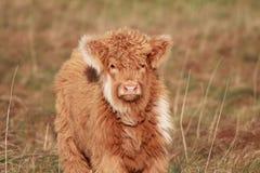 Teddy Bear Calf Fotografia Stock Libera da Diritti
