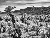 Teddy Bear Cholla, black and white Stock Photography