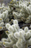 Teddy Bear Cholla Cactus Royalty Free Stock Photos