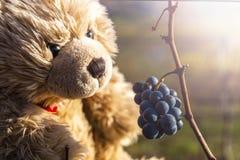 Teddy bear Dranik and the black grapes. Wachau. Austria royalty free stock image