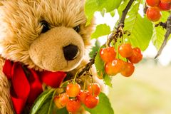 Teddy bear and fresh yellow Cherry royalty free stock image