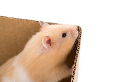 Teddy Bear Hamster Stock Photography