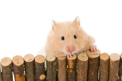 Teddy Bear Hamster Royalty Free Stock Images