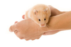 Teddy Bear Hamster Royalty Free Stock Photo