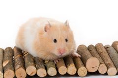 Teddy Bear Hamster Stock Photo