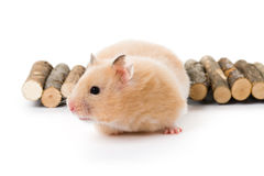 Teddy Bear Hamster Royalty Free Stock Image