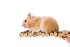 Teddy Bear Hamster Royalty Free Stock Photos