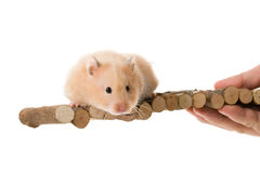 Teddy Bear Hamster Royalty Free Stock Photography