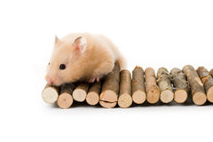 Teddy Bear Hamster. With white background royalty free stock photography