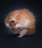 Teddy Bear Hamster Lizenzfreie Stockfotos
