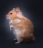 Teddy Bear Hamster Fotografia de Stock