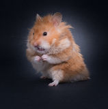 Teddy Bear Hamster Royaltyfri Fotografi