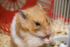 Teddy bear hamster eating Royalty Free Stock Photography