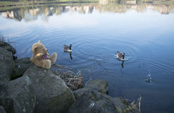 Teddy Bear At Lake Royaltyfri Bild