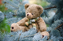 Teddy bear on a pine branch Royalty Free Stock Photo