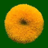 Teddy Bear sunflower Stock Photo