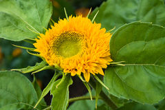 Teddy Bear sunflower. In the top view Royalty Free Stock Image