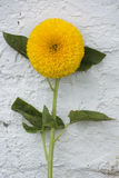 Teddy Bear Sunflower Immagine Stock Libera da Diritti