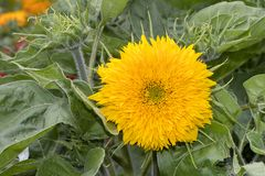 Teddy Bear Sunflower royalty free stock photography