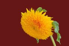 Teddy bear sunflower. On dark red background - closeup royalty free stock photo