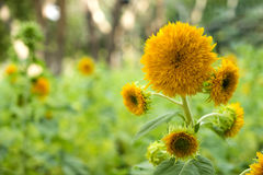 Teddy Bear Sunflower (helianthus annuus) Imagen de archivo