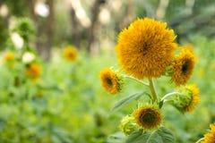 Teddy Bear Sunflower (Helianthus annuus). Sunflower Teddy Bear in the garden (Helianthus annuus) ** Note: Shallow depth of field Stock Image