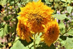 Teddy Bear Sunflower i blom i öknen, Arizona, Förenta staterna royaltyfri foto