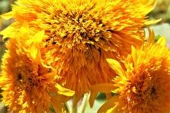 Teddy Bear Sunflower i blom i öknen, Arizona, Förenta staterna royaltyfri fotografi